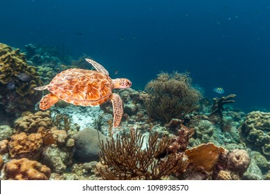 green sea turtle,Chelonia mydas, also known as the green turtle, black sea turtle