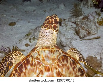 The green sea turtle,Chelonia mydas, also known as the green turtle off the coast of South Caicos
