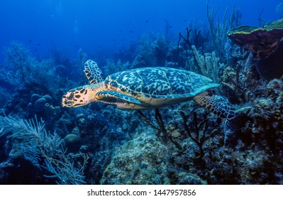 green sea turtle,Chelonia mydas,  also known as the green turtle