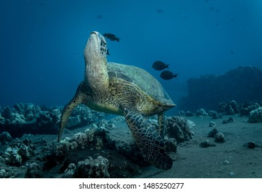 Green Sea Turtles on a reef in Maui