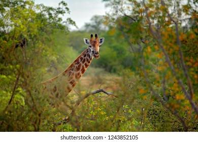 Green season in Africa. Giraffe hidden in orange and green autumn vegetation. Giraffes head in the forest, Kruger National Park, wildlife Africa.