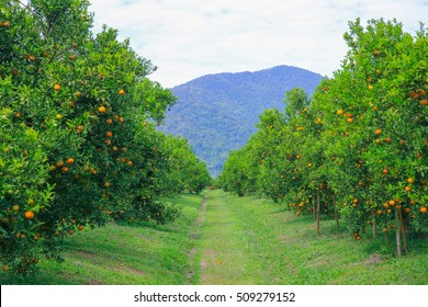 Green season of orange farm in northern Thailand with a walking space to the mountain between trees