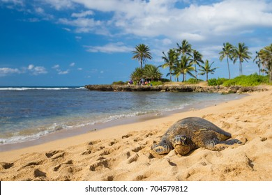 green seaturtle at the beach of Haleiwa, O'ahu, Hawai'i