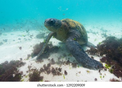 A green seaturtle feeds on algae in the shallows of the waters around the Galapagos