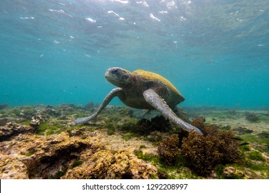 A green seaturtle rests in the shallows of the waters around the Galapagos