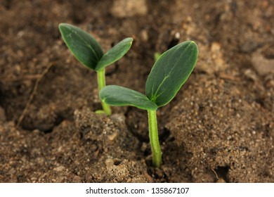 Green seedling growing from soil close-up