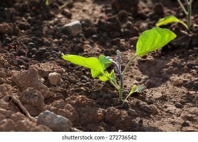 Green Seedlings in Field