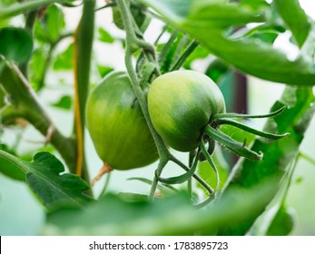 Green seedlings with green young tomatoes grow in a greenhouse. Background, the concept of organic healthy vegetables, without preservatives, poisons and fertilizers. Natural food products.