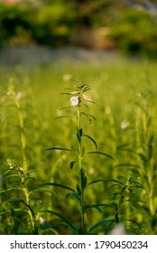 Green sesame plant blooming in field and bud