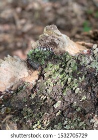 Green shelf fungus growing on decaying tree.  Beautiful polypores in North America.