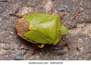 Green shield beetle detailed image macro close up (palomena viridissima)
