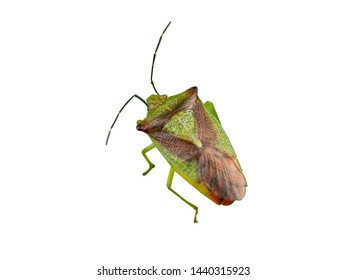 Green shield bug insect with brown shell on leaf macro top view