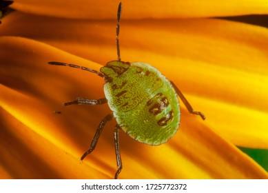 The Green shield bug nymph (Palomena prasina)