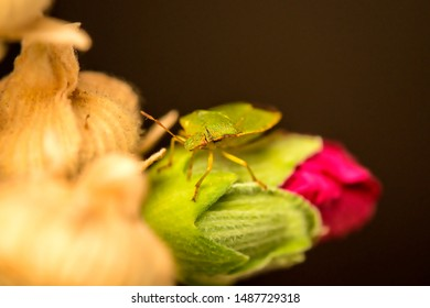 green shield bug on a mallow flower