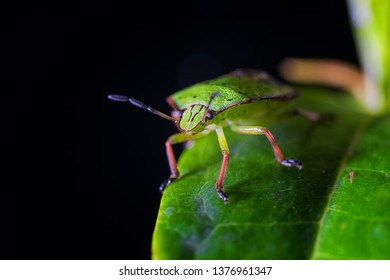 The green shield bug – Palomena prasina – is a European shield bug species in the family Pentatomidae. The name might equally apply to several other species in the tribe Nezarini