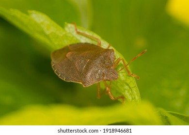 A Green Shield  Bug, Palomena prasina in the brown color of winter hibernation. There is only one generation per year, the nymphs feed on deciduous trees and shrubs and become green in the summer.