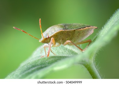 Green shield bug, Palomena prasina