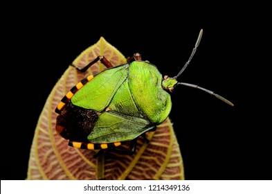 Green shield bug (Pycanum rubens) perched on reddish brown colour leaf