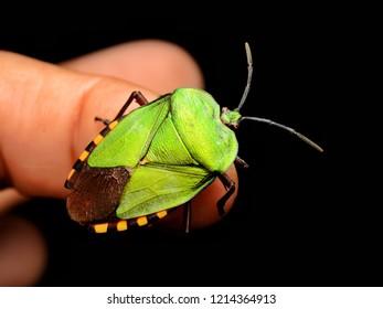 Green shield bug (Pycanum rubens) perched on finger