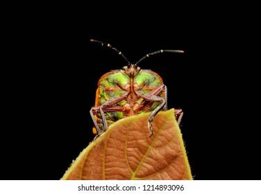 Green shield bug (Pycanum rubens) peeking behind the brown leaf