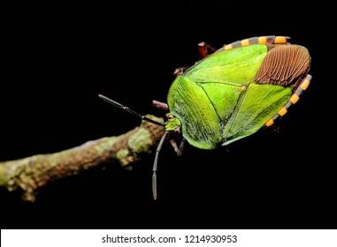 Green shield bug (Pycanum rubens)
