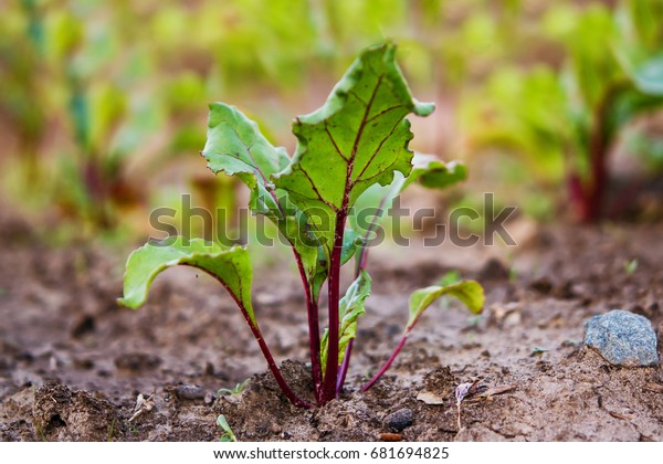 Green shoots, beet tops of vegetable beet, closeup on the background of the earth