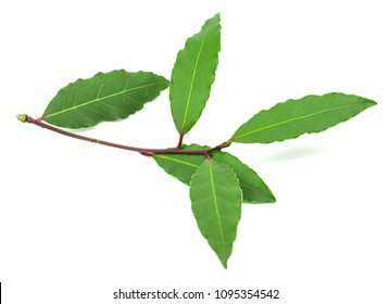 Green shoots of laurel leaves on a white background