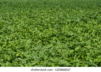 the green shoots of potatoes on a large field, will sing the potato crop a lot of shoots on the entire frame
