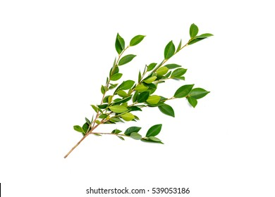 Green shrub of Banyan tree or Ficus annulata Leaf isolated on white background.
