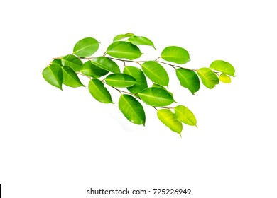 Green shrub of Banyan tree or Ficus annulata Leaf isolated on white background.fresh Green leaves.