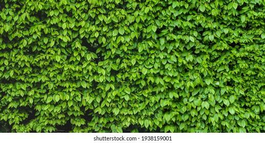 Green shrub hedge, fresh green leaves for texture background. Lush vegetation close-up, horizontal photo.