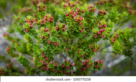 Green shrub with little red flowers. Patagonian flora. Background out of focus.