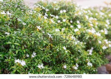 Green Shrubs Small White Flowers Garden Stock Photo Edit Now