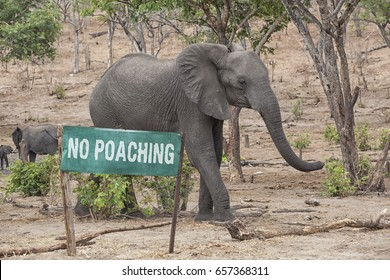 Green Sign with the words No Poaching and an elephant behind, concept against poaching, Botswana, Africa