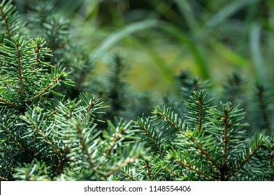 Green and silvery spruce needles Picea omorika 'Karel'. Like a vignette of needles on the blurred green garden background. Close-up in natural sunligh