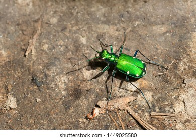 A green Six-spotted Tiger Beetle is running on the ground. Taylor Creek Park, Toronto, Ontario, Canada.