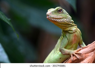Green skin lizard looking (Chinese water dragon)