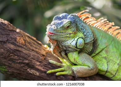 A green smiling big iguana is lying on a tree branch in a tropical forest and basking in the sun. Reptile head closeup.