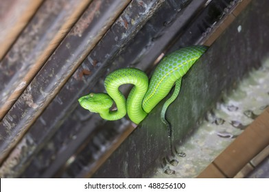 Green  snake  animals, sometimes for food in the house