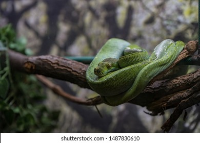 Green snake hanging on branch, ready to attack with fatal venom