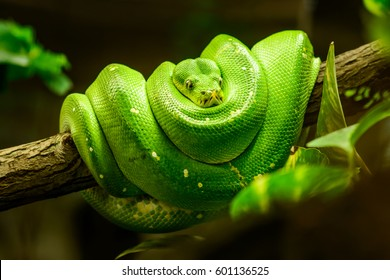 Green snake on the branch