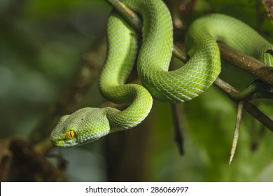 Green Snake in rain forest.