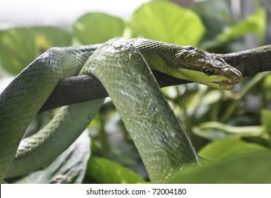 green snake wound around the branch