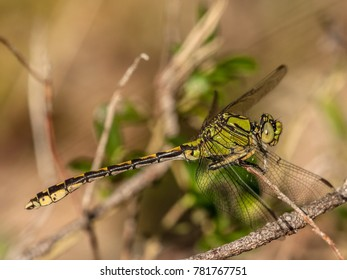 Green snaketail dragonfly - Ophiogomphus cecilia - male