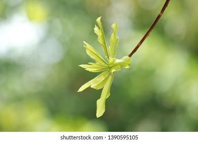 Green Soft Peak of Sala Tree Background so Beautiful Seeing the Green leaves
