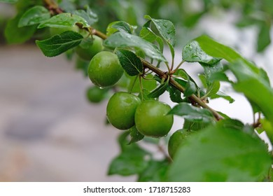 Green sour plums on tree after rain