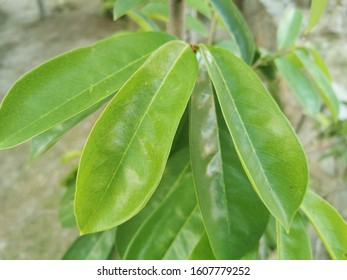 Green soursop leaves on tree