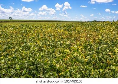 Green Soy field in Brazil