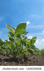 Green soy plant in agricultural field. Selective focus.