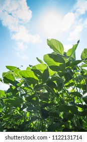 Green soy plant in agricultural field with blue sky. Selective focus.
